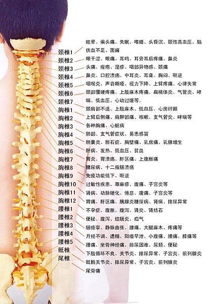脊神經病根分佈.jpg