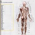 人體肌肉解剖圖1.jpg