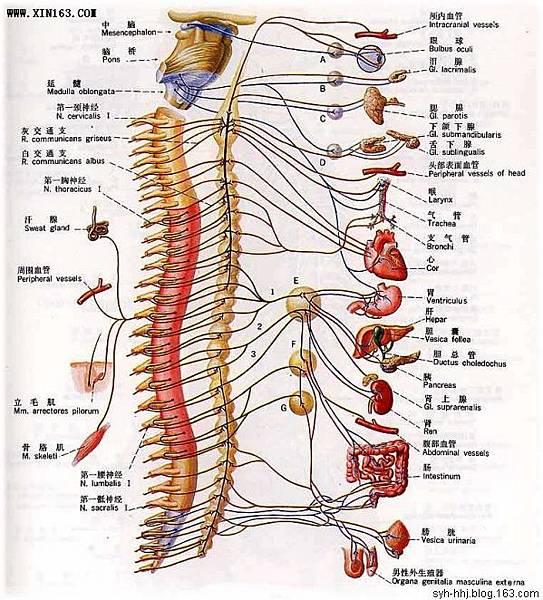 人體神經系統5.jpg