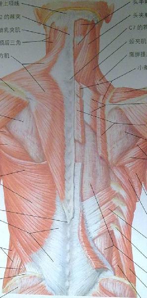 脊柱後方肌肉(豎脊肌)