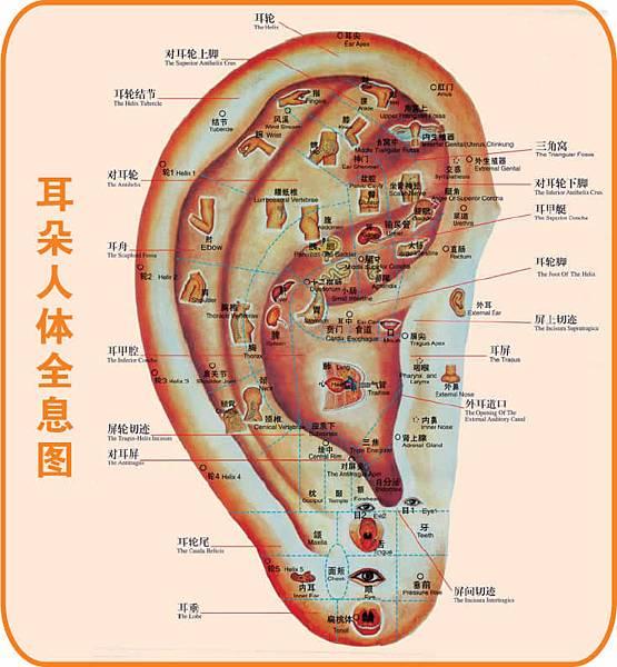 耳朵反射區與全息圖4.jpg