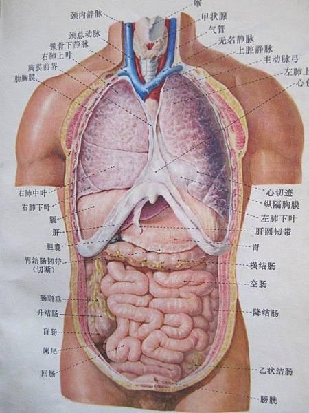 人體內臟解剖圖