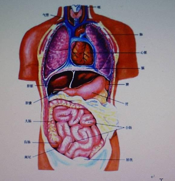 肺心肝膽脾胃圖