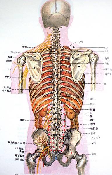 驅幹後穴位體表深層解剖