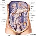 28 腹後腹壁膜器官配置圖.jpg