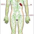 1人體的淋巴系統.jpg