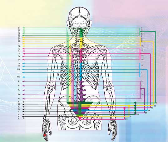 u8仙骨骨架與椎體之間的連結