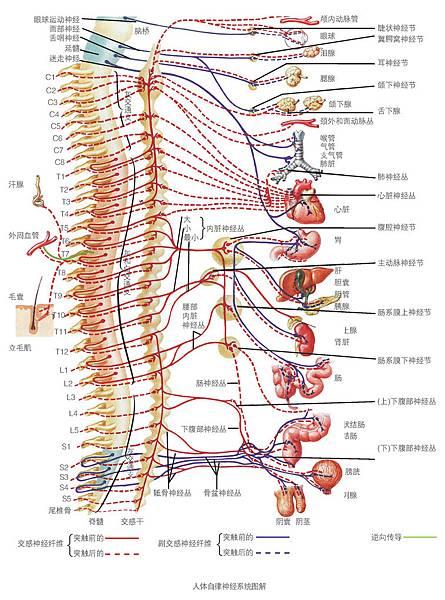 脊柱圖解-人體自律神經系統