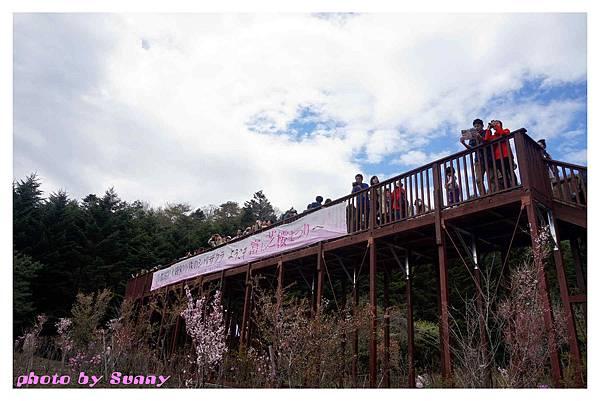 富士山芝櫻祭5.jpg