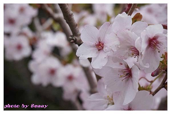 富士山芝櫻祭8.jpg