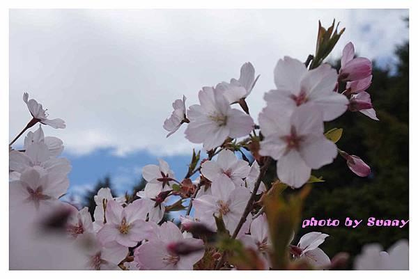 富士山芝櫻祭9.jpg