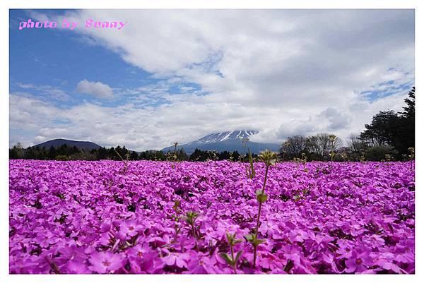 富士山芝櫻祭24.jpg