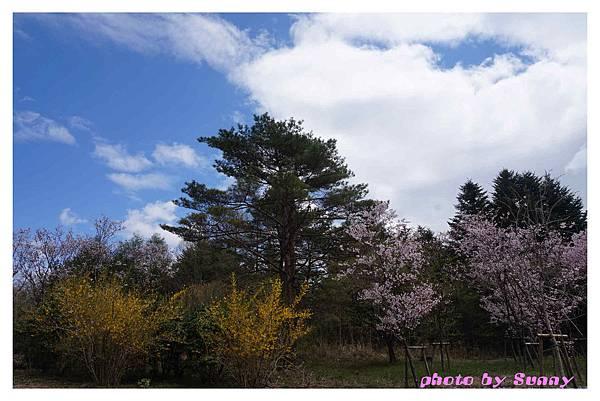 富士山芝櫻祭30.jpg