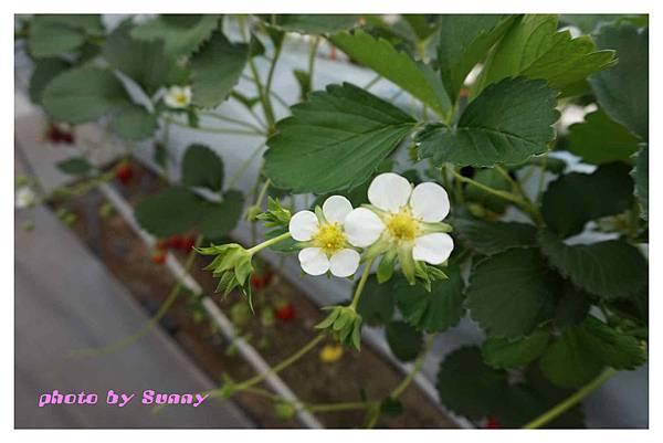 草莓園3.jpg
