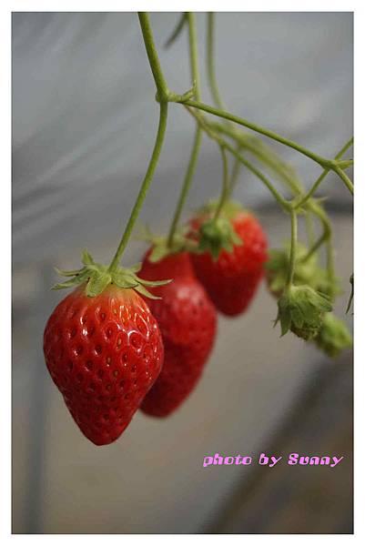 草莓園6.jpg