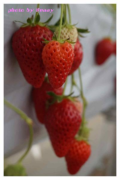 草莓園7.jpg