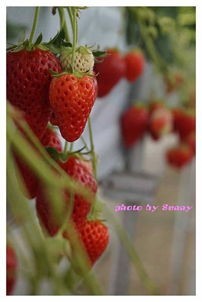 草莓園8.jpg