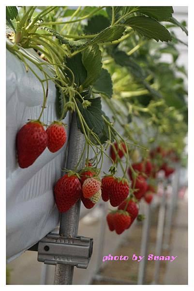 草莓園9.jpg