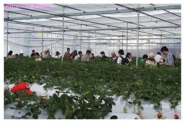 草莓園12