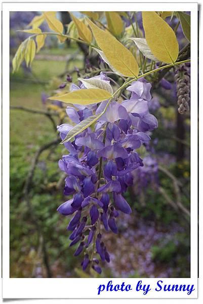淡水紫藤園2.jpg