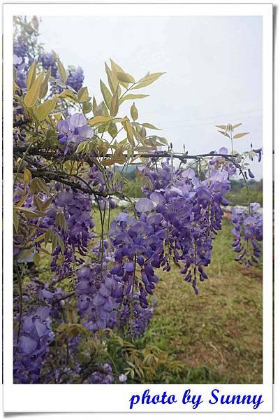 淡水紫藤園1.jpg