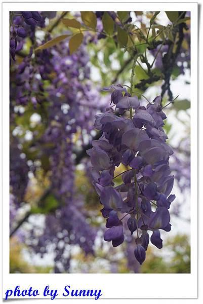 淡水紫藤園3.jpg