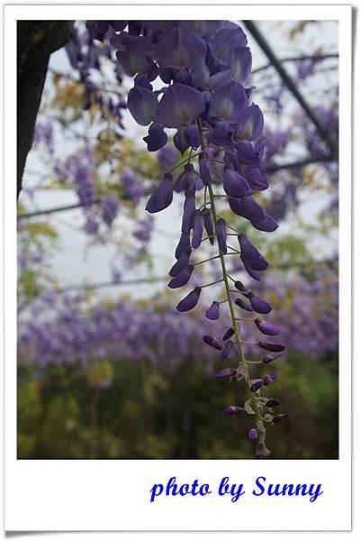 淡水紫藤園6.jpg