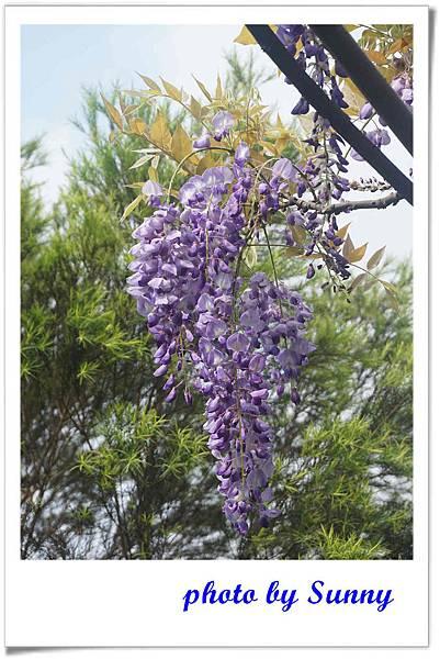 淡水紫藤園5.jpg