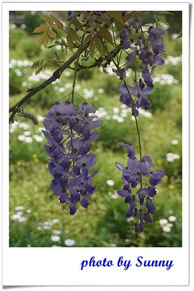 淡水紫藤園10.jpg