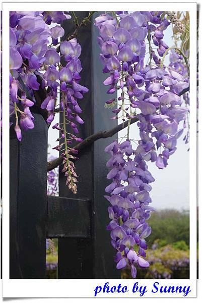 淡水紫藤園11.jpg