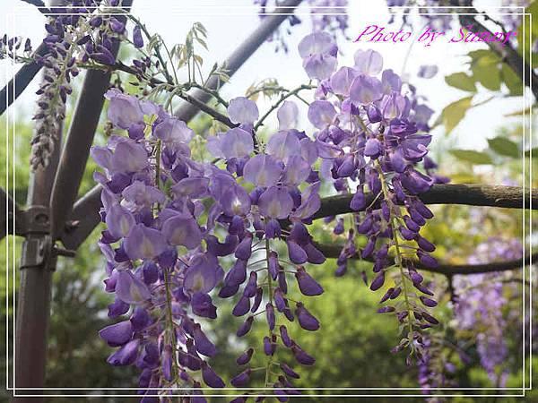 淡水紫藤園13.jpg
