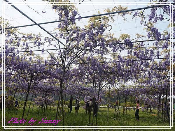 淡水紫藤園16.jpg
