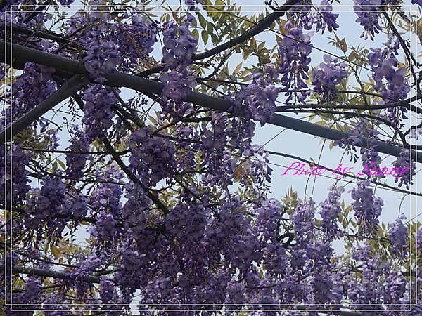 淡水紫藤園15.jpg