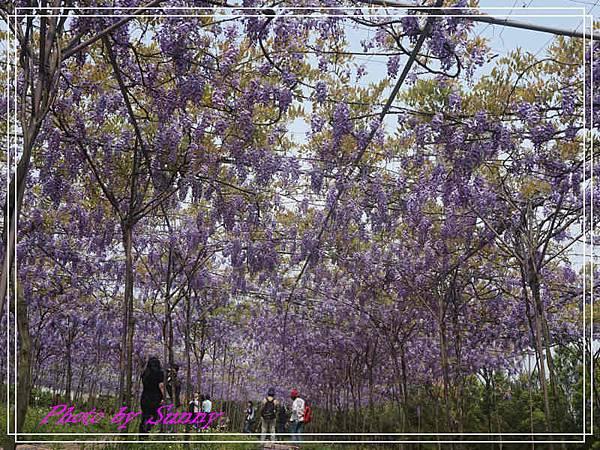 淡水紫藤園19.jpg