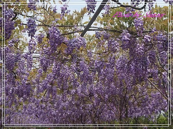 淡水紫藤園20.jpg