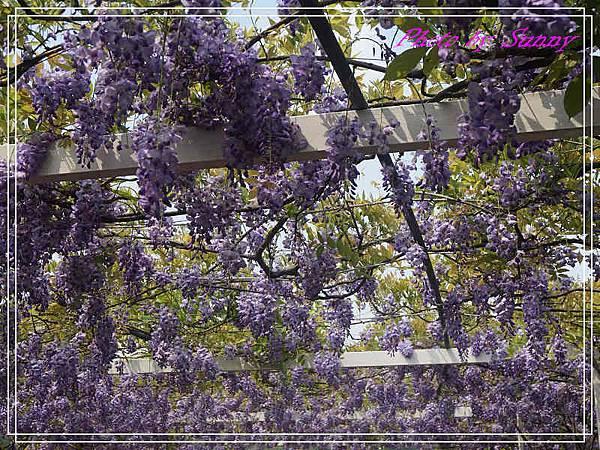 淡水紫藤園25.jpg