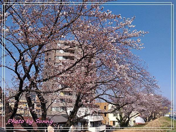 名古屋賞櫻.jpg