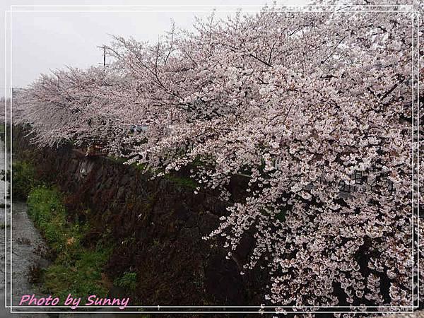 山崎川5.jpg