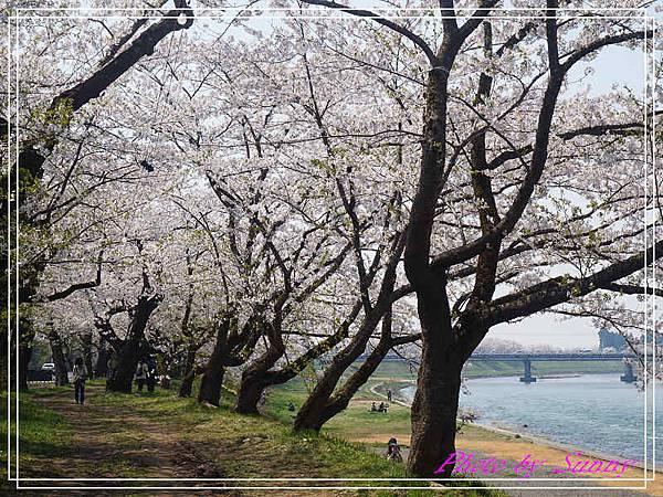 角館檜木內川25.jpg
