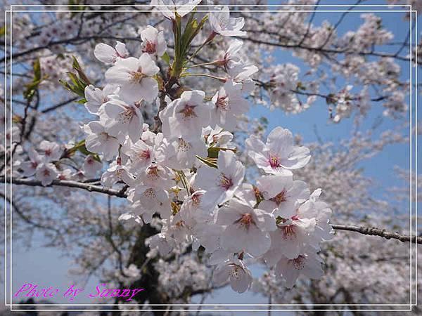 角館檜木內川30.jpg