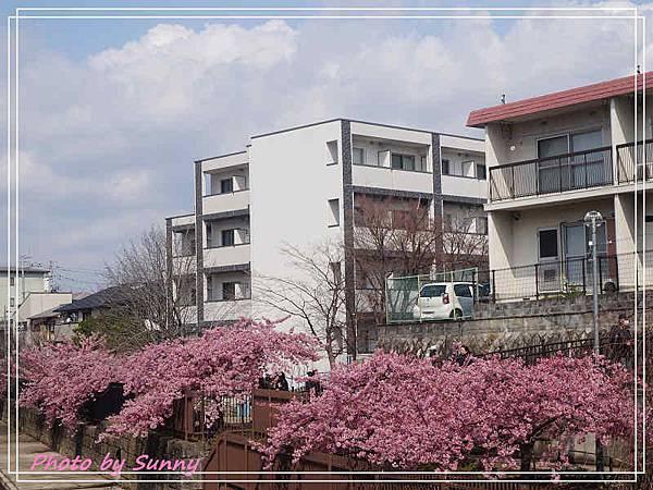 淀水路河津櫻16.jpg