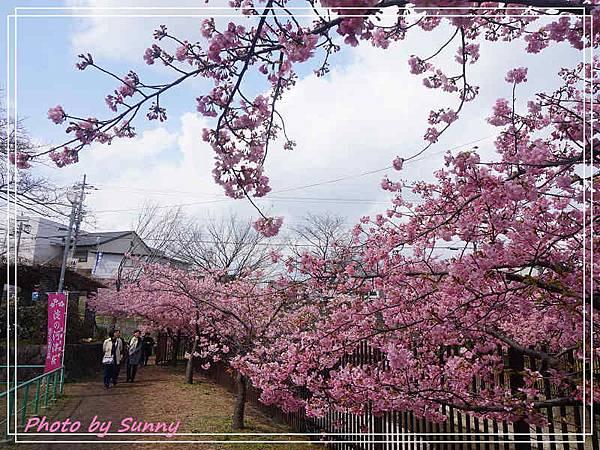 淀水路河津櫻18.jpg