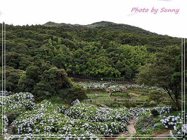 午後陽光繡球花5.jpg
