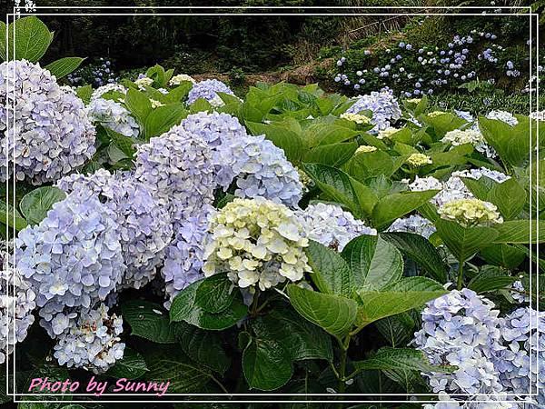 午後陽光繡球花1.jpg