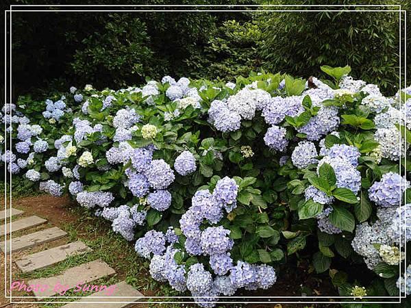 午後陽光繡球花3.jpg
