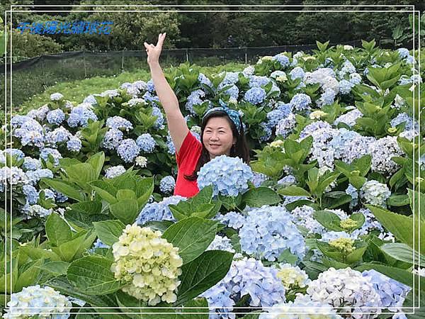 午後陽光繡球花6.jpg