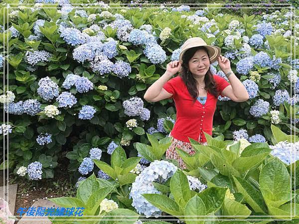 午後陽光繡球花7.jpg
