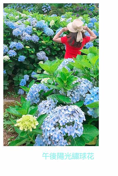 午後陽光繡球花19.jpg