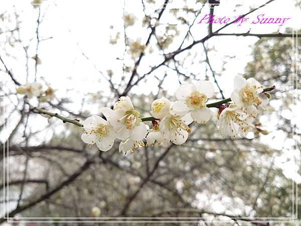 角板山行館賞梅1.jpg