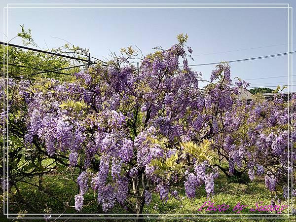 紫藤園屯山園區6.jpg
